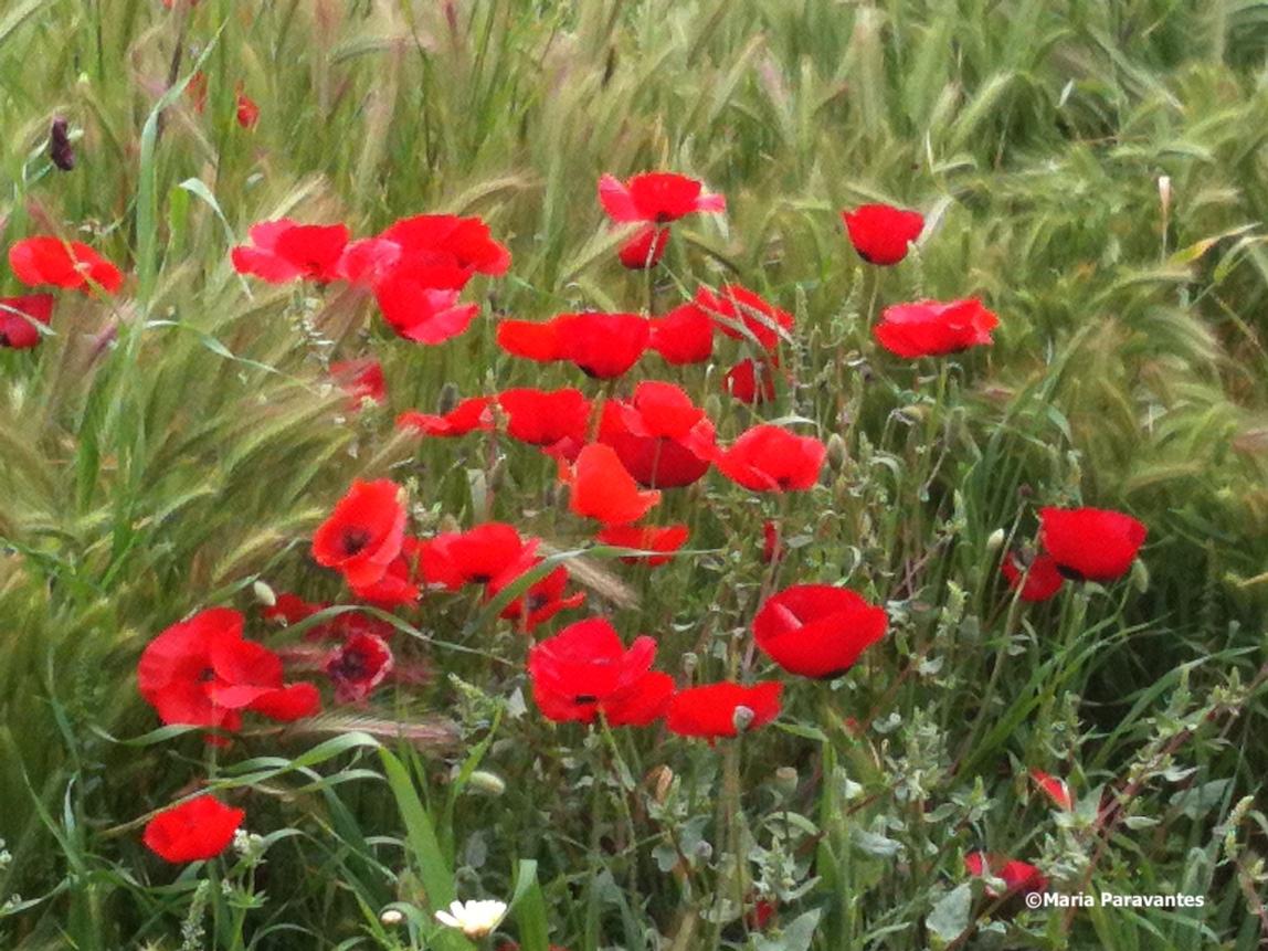 Greek easter poppies