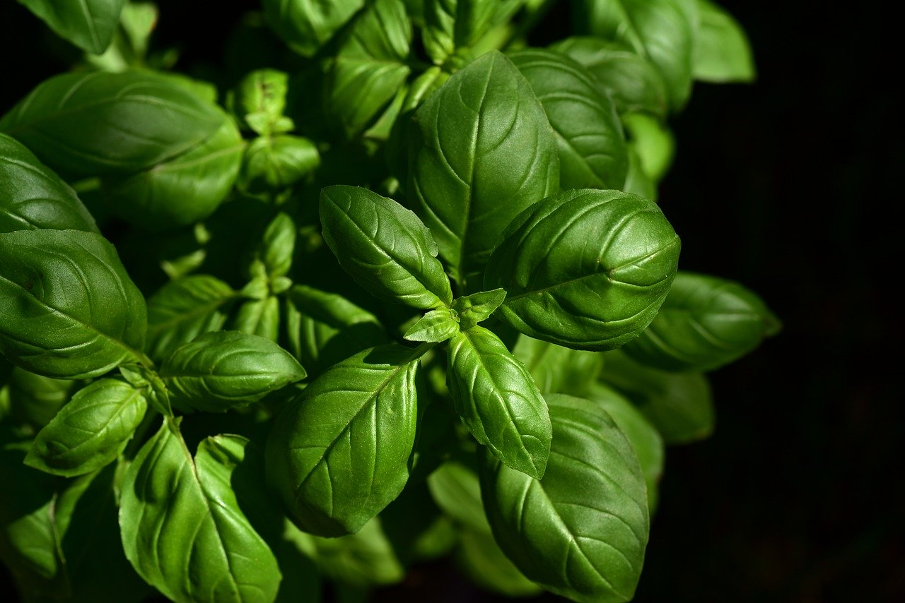 Basil: King of Greek Herbs & Culture