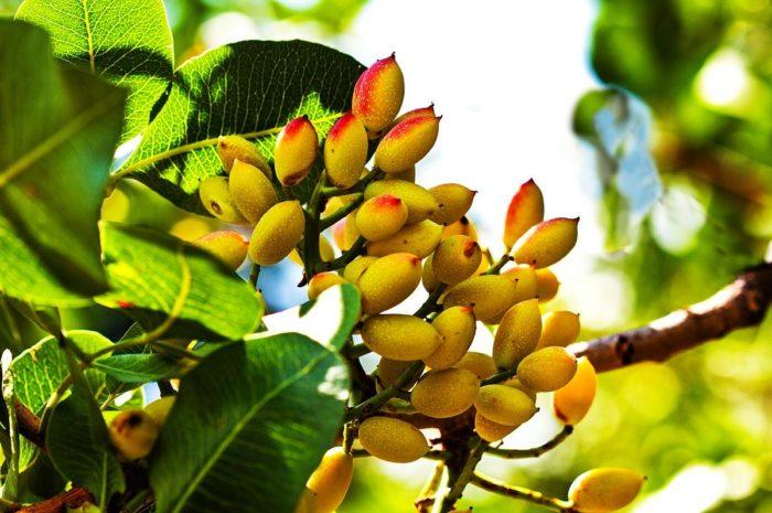 Fystiki Aeginis: The Greek Pistachio Nut
